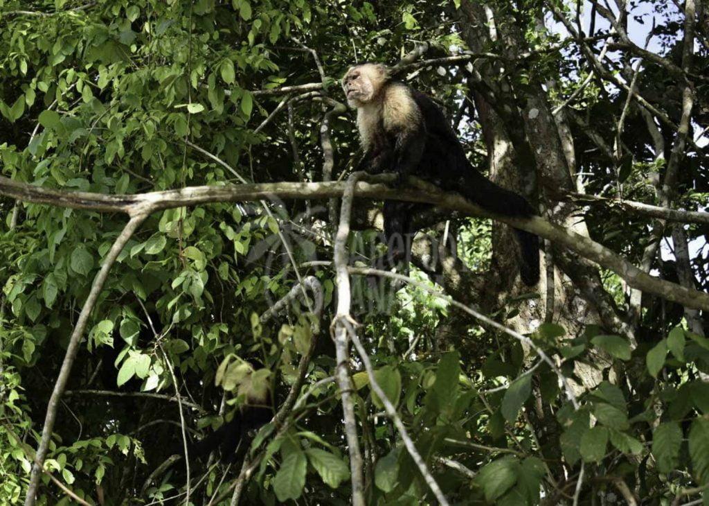 capuchin-monkey-in-tree-by-panama-canal