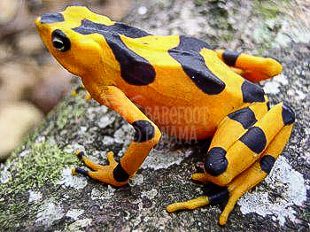 frog-yellow-and-black
