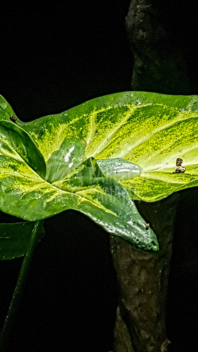 frogs-on-a-leaf