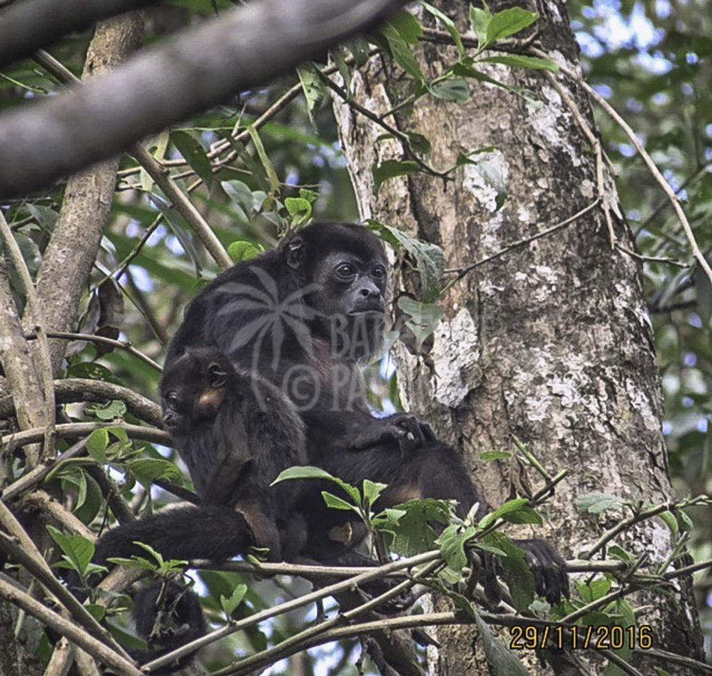 howler-monkey-seen-on-tour