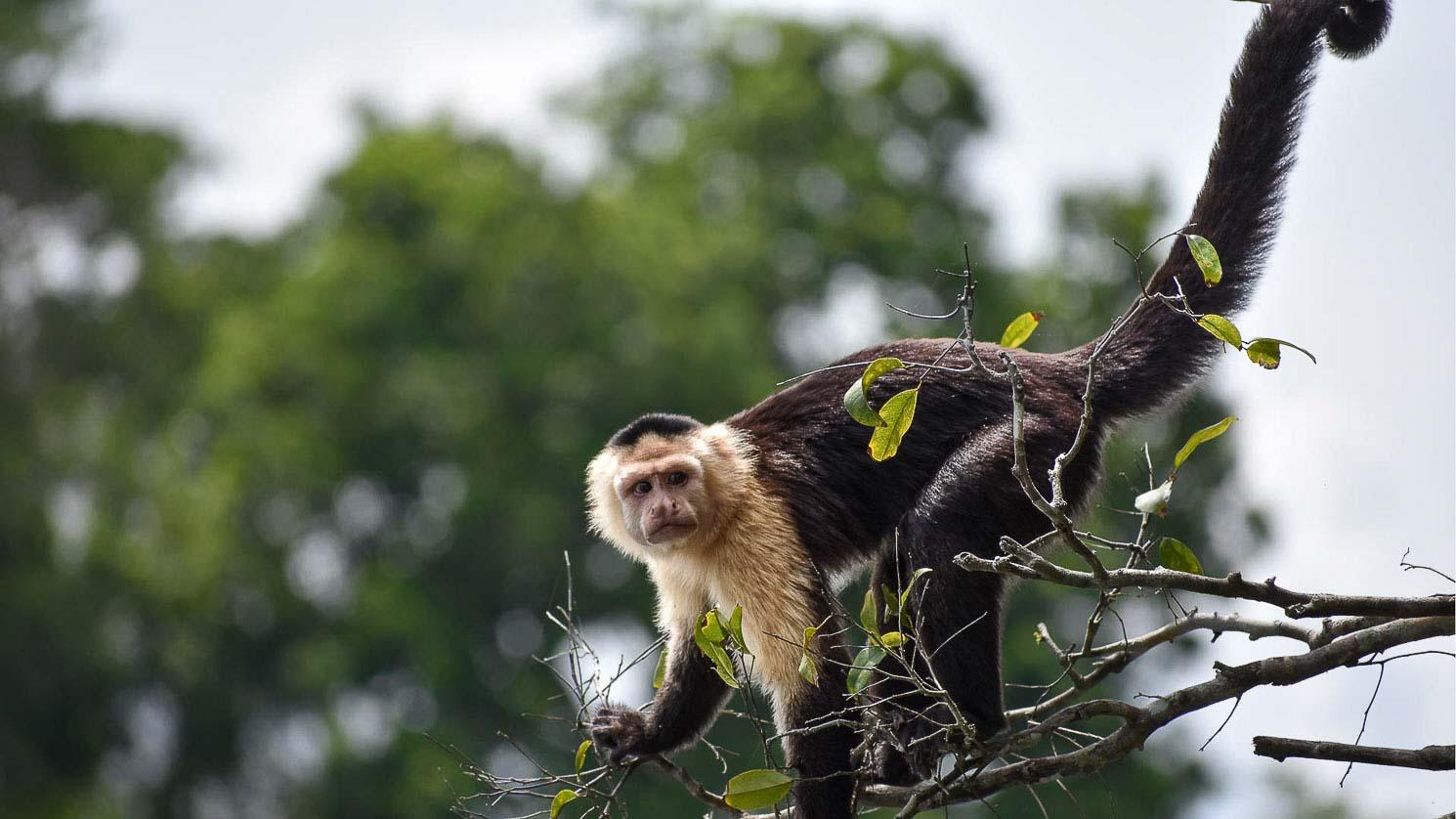 Monkey tour in Panama, Capuchin monkey on Monkey Island.
